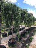 """Саженцы плодовых деревьев в питомнике """"Грандсад"""" Раменское"""